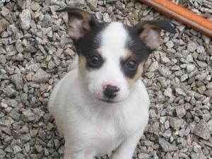 Midge is an adoptable Terrier Dog in Marion, NC. Adoption