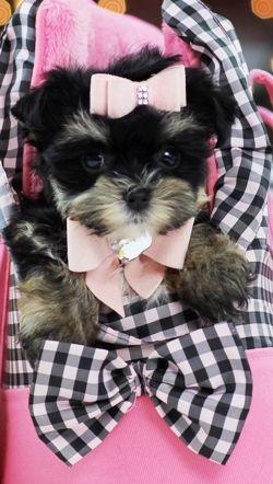 Mixed Breeds For Sale Maltese Shih Tzu Designer Dogs Breeds Cute Animals