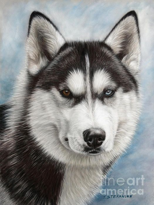 Siberian Husky By Tobiasz Stefaniak Dog Art Husky Drawing Dogs