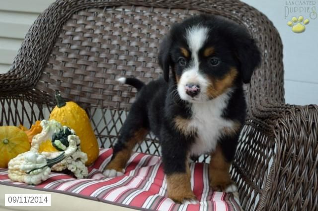 Bernese Mountain Dog Puppy For Sale In Ohio Animals Pinterest