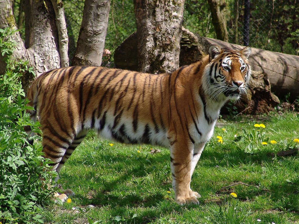 картинка где тигр успешно фотографировать