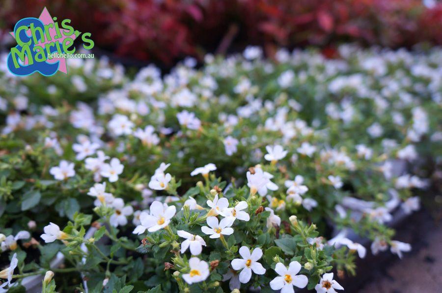 Bacopa lambs meadow fine white plants pinterest gardens bacopa lambs meadow fine white mightylinksfo