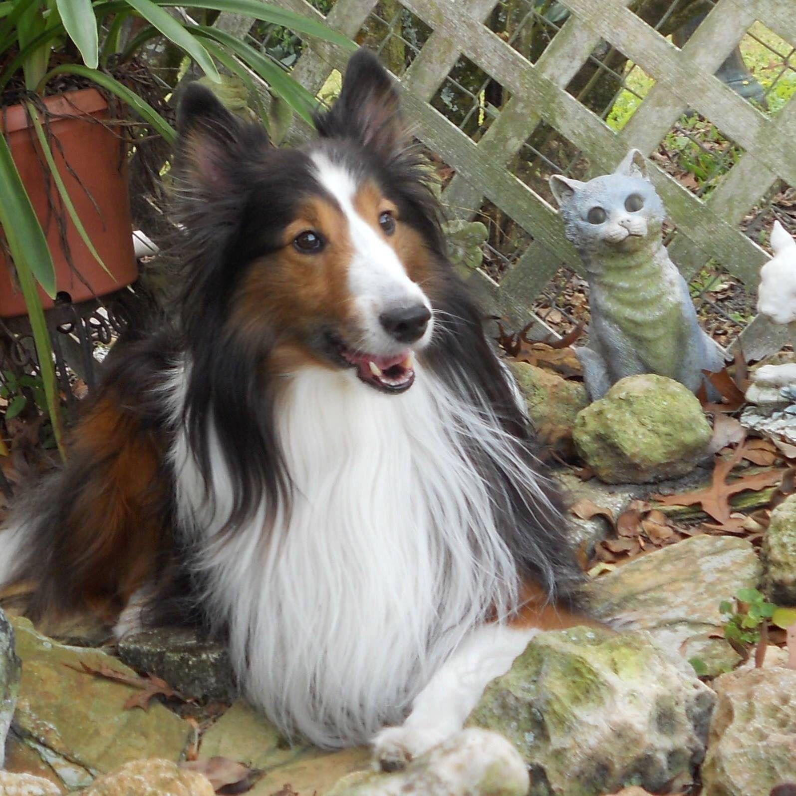 Sheltie in the garden