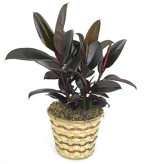 How To Take Care Of Rubber Tree Plant Plants House