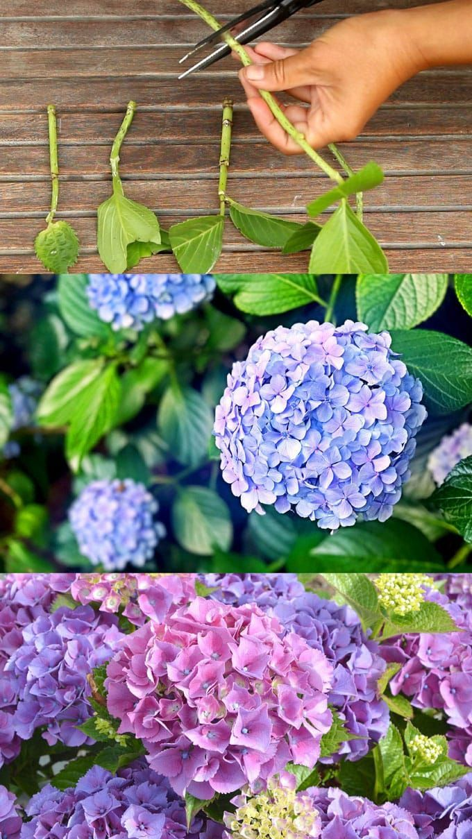 Propagate Hydrangea Cuttings Easily 99 Success Rate Jardin D Hortensia Projets De Jardins Et Bouture Hortensia