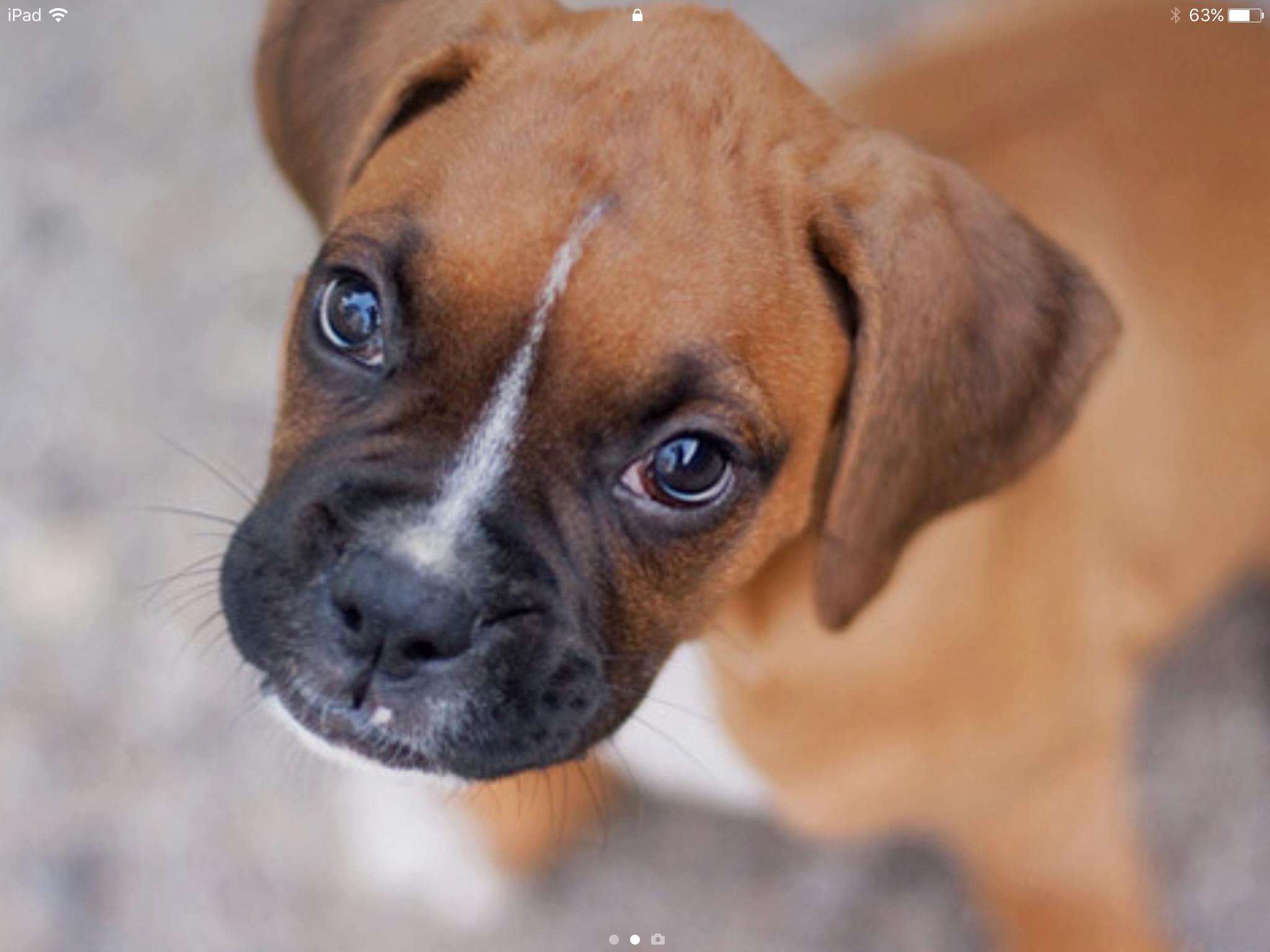 So cute! ️ ️ ️ Boxer dog breed, Loyal dog breeds, Dog breeds