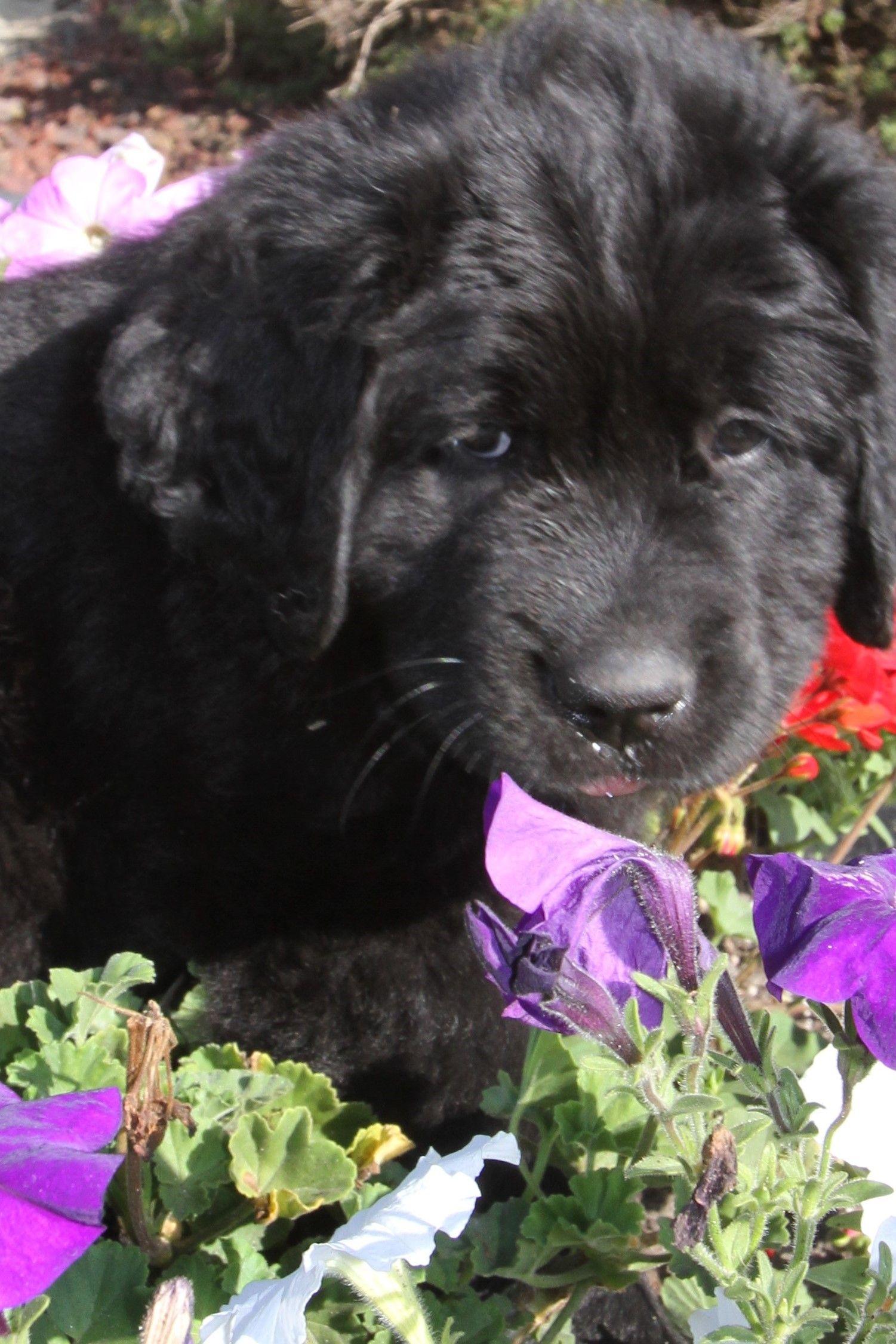 newfoundland newfoundlandpuppies puppy pupper