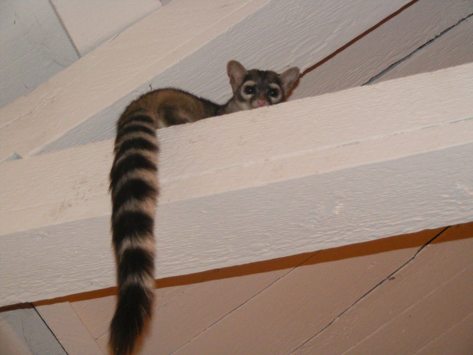 ring tailed cat Country critters, Desert animals, Animals