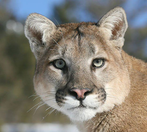 e51cb96076c Lifespan and Size plus Weight | 10 Remarkable Facts About Mountain Lions