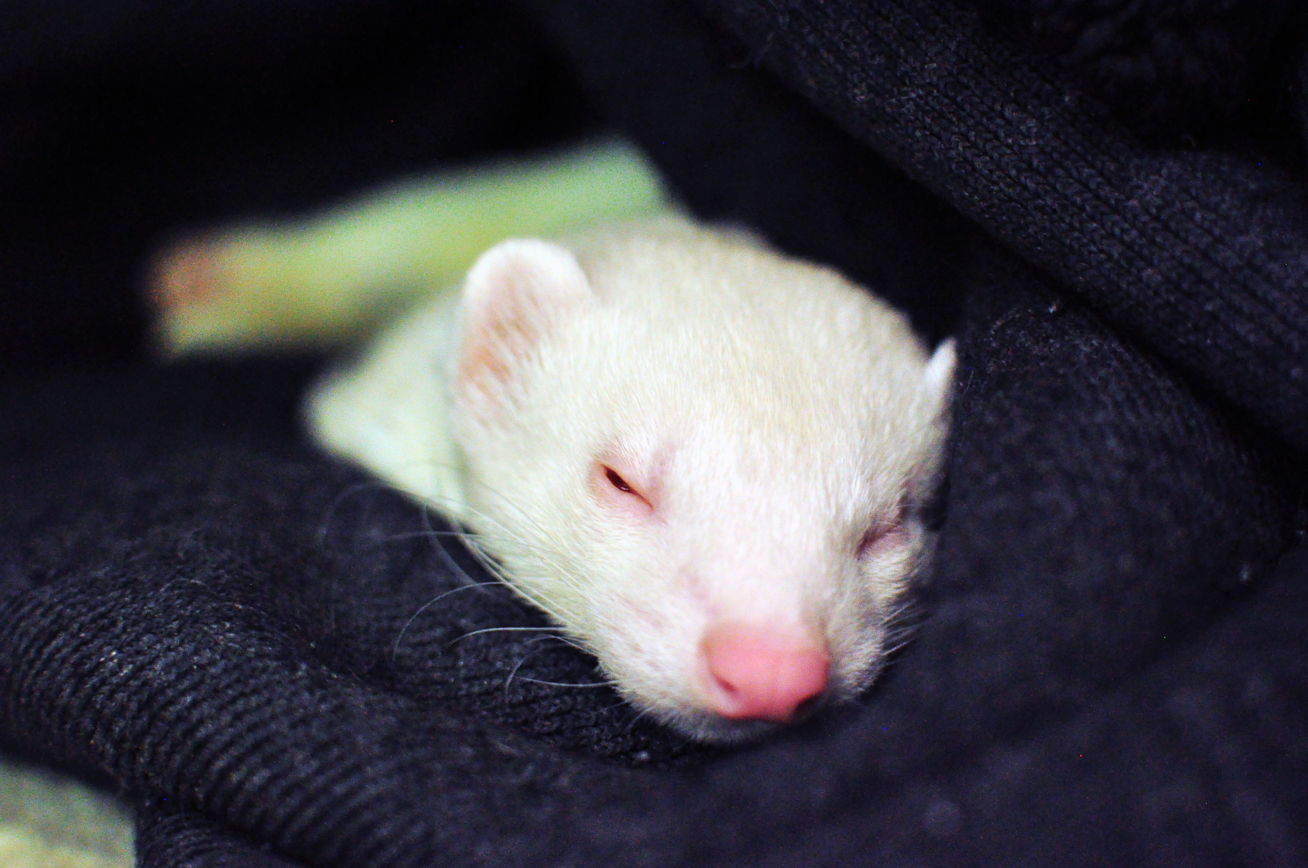 just taking a nap | Cute ferrets, Ferret, Beautiful creatures