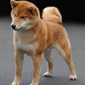 Medium Dogs That Don T Shed Medium Dog Breeds That Don T