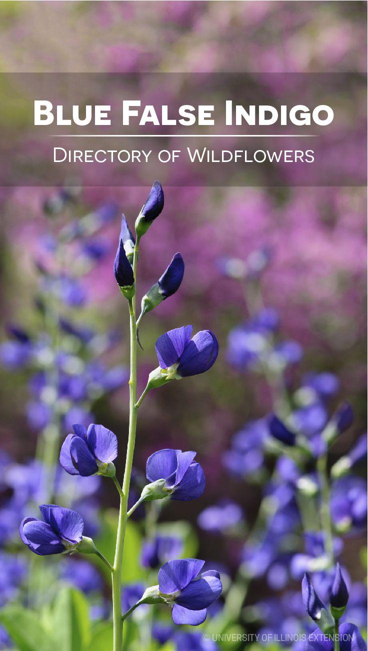 Directory Of Wildflowers Blue False Indigo Baptisia Australis