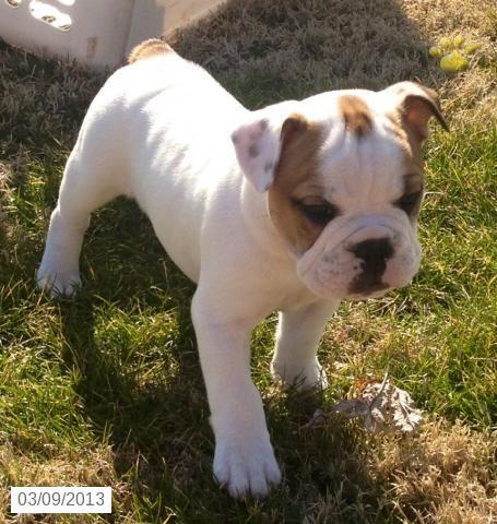 Minnie Vinnie English Bulldog/Olde English Hybrid Puppy