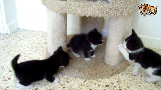 tuxedo kittens for sale Tuxedo kitten, Cute kitten gif
