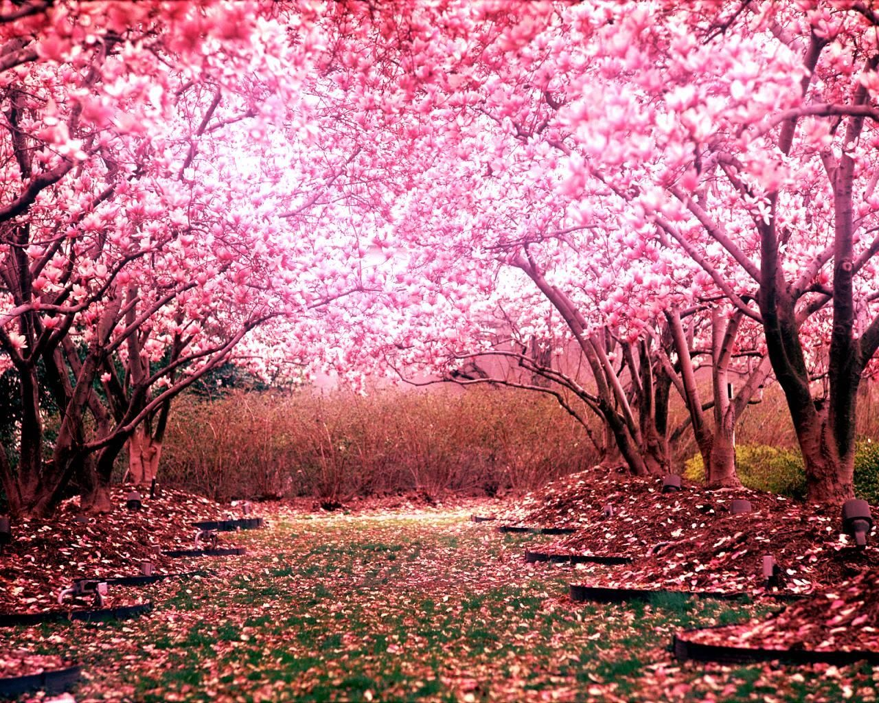 Cherry Blossom Landscape Wallpaper Cherry Blossom Background Cherry Blossom Wallpaper Spring Desktop Wallpaper