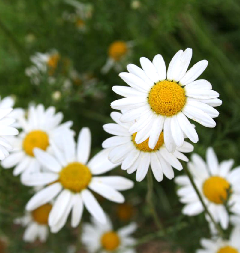 German Chamomile Vs Roman Chamomile What S The Difference Hobby Farms Chamomile Growing Chamomile Plant Chamomile Seeds
