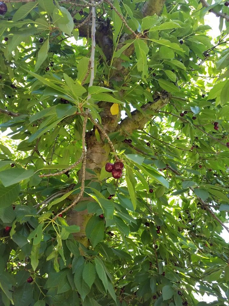 A closeup sample of the produce this season cherries
