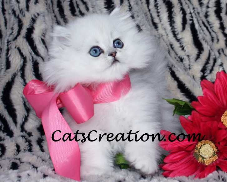 Teacup White Persian for sale in South Florida. Persian