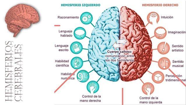 Resultado De Imagen Para Los Hemisferios Cerebrales Anatomia Del Cerebro Humano Corteza Cerebral Músculos Del Cuerpo Humano