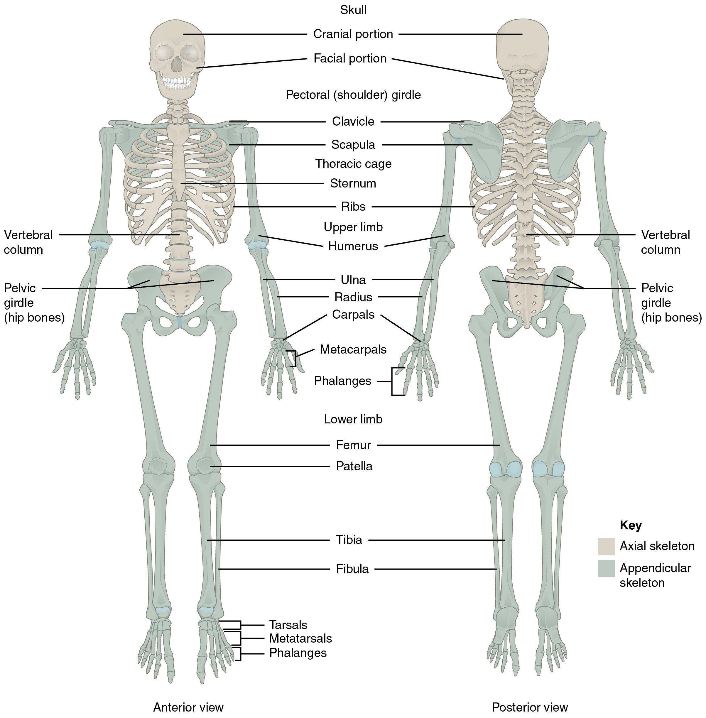 30 Math Coloring Worksheets 4th Grade Carolinaaac Net In 2020 Anatomy Bones Skeletal System Anatomy Human Bones Anatomy