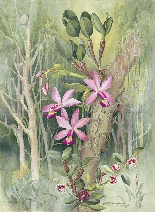 107 Melhores Ideias de Margaret Mee | Ilustração botânica, Desenhos  botânicos, Desenho botânico