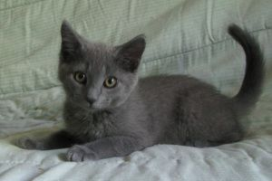 Bari is an adoptable Russian Blue Cat in Williamsburg, VA. Bari is a beautiful little male kitten who is about 12 weeks old. We believe he is a Russian Blue mix, as he has the double coat (soft underc...