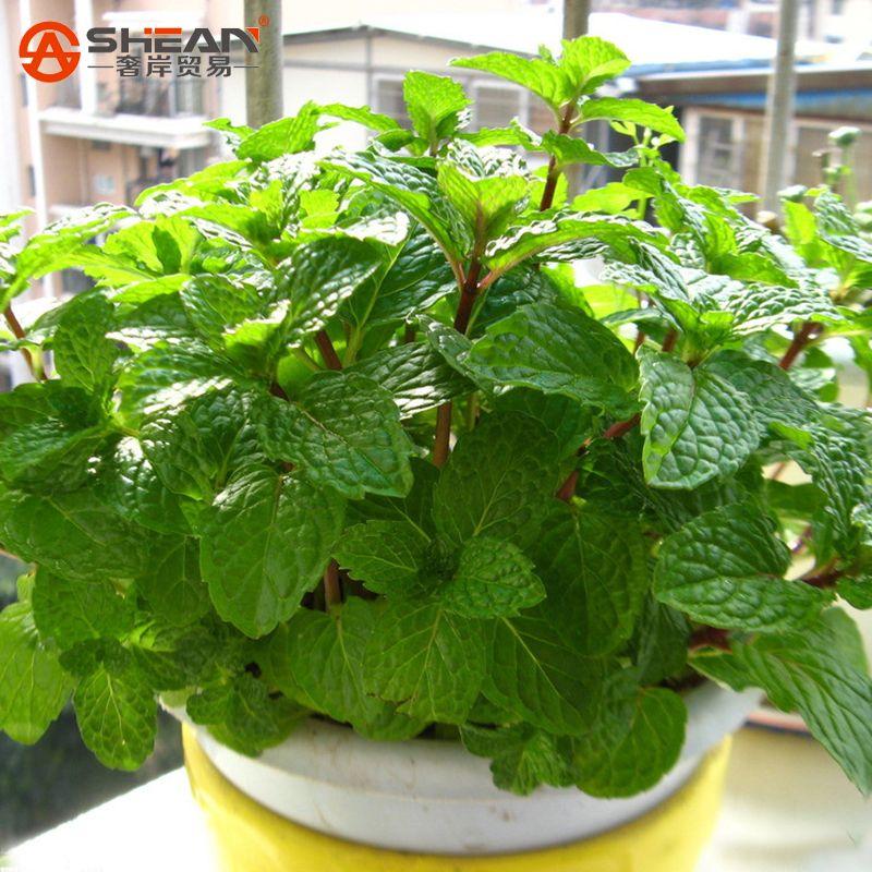 encontrar más bonsais información acerca de planta verde menta