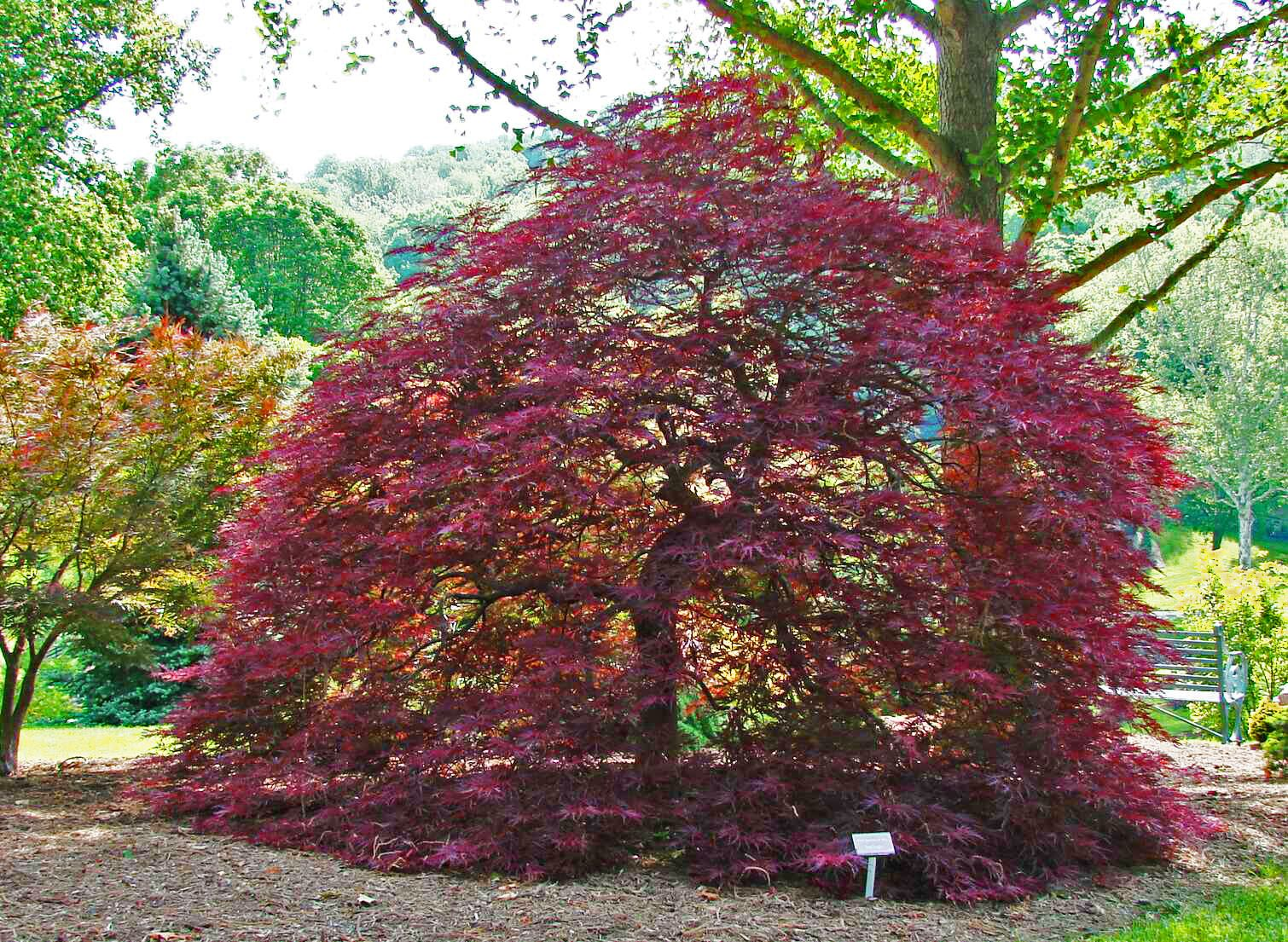 Red Dragon Japanese Maple Red Dragon Japanese Maple Japanese