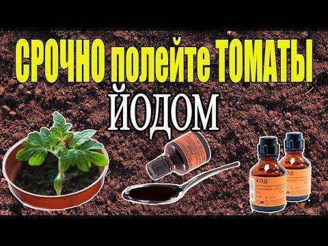 подкормка рассады томатов хлебом замачиванием хлеба