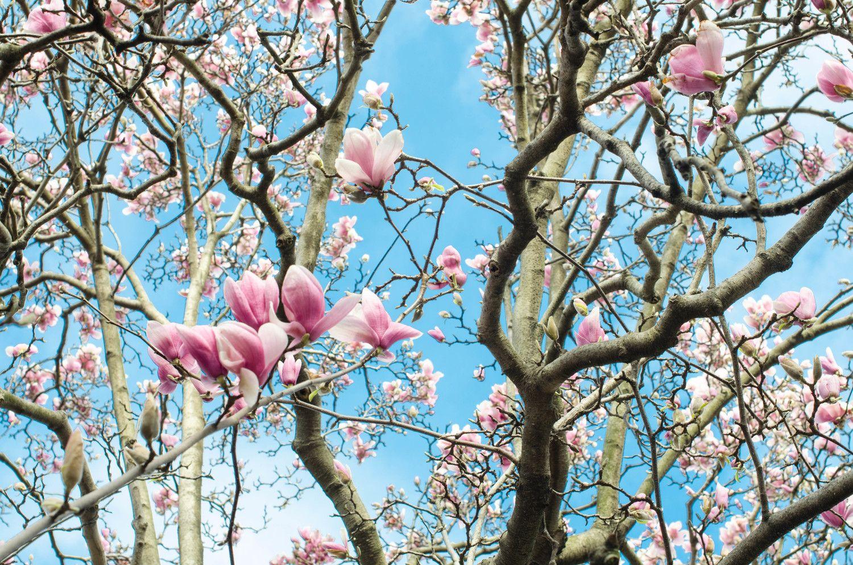 Spring Awakening Magnolia Magnolia Trees And Flowers