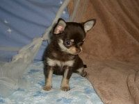 Chihuahua Puppies For Sale With Images Chihuahua Puppies For