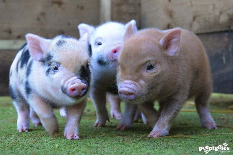 mini-tea-cup-pigs-for-sale | The best of nature | Teacup ...