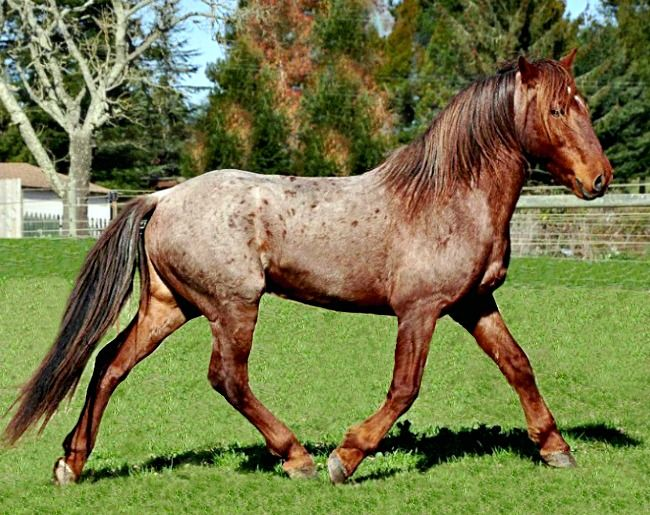 Spanish Mustang. Descended from the Colonial Spanish Horse, it has always been a domesticated breed. It is related to the well-known feral mustang but is not the same. The feral mustang interbred opportunistically wth stock horses over the years. photo: Marcie Lewis.