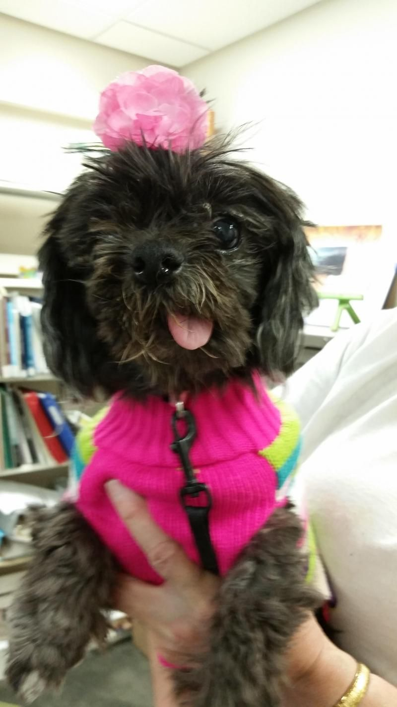 Adopt shirley on petfinder adoption shih tzu pets