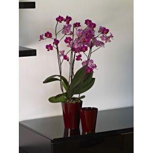 orchidee 12