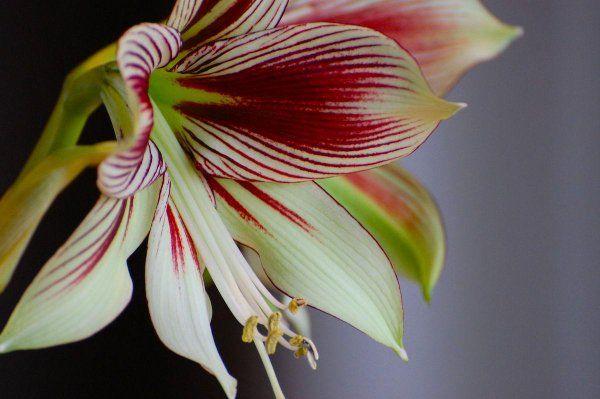 RT  @dhackett4150   'Amaryllis Hippeastrum Flower Papillio Butterfly'  #amaryllis #flowers #flower https://t.co/y0xa2Pgd92