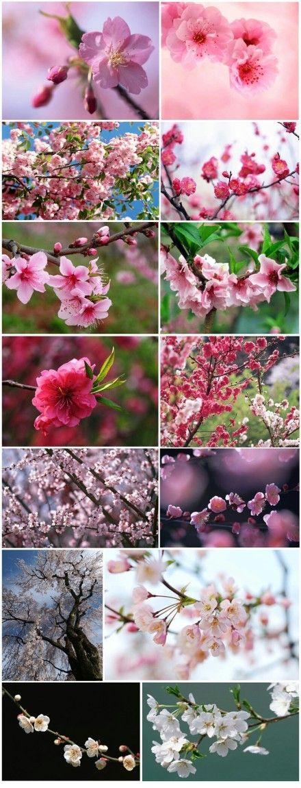 Peach Blossom Everywhere Open Flower Photos Pink Flowers Pretty Flowers