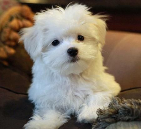 Niko The Maltese Maltese Puppies For Sale Puppies Maltese Dogs