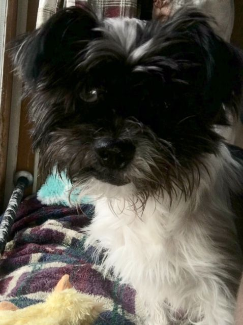 Shih Tzu Dog For Adoption In Cedar Rapids Ia Adn 642474 On