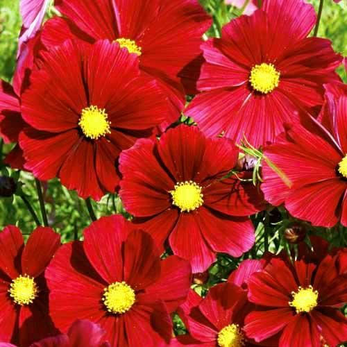 Cosmos Rubenza Pop Up Jpg 500 500 Pixels Cosmos Flowers Flower Seeds Annual Flowers