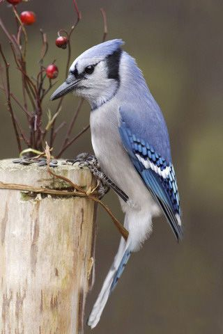 Download Blue Jay And Berries Iphone Wallpaper Mobile Wallpapers Blue Jay Bird Birds Flying Birds