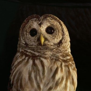 Barred owl at Oregon Zoo Portland, OR #Kids #Events