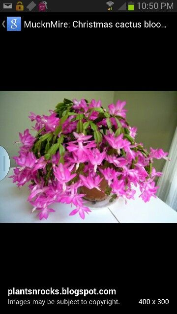 how to get a christmas cactus to bloom additional common names easter cactus scientific name schlumbergera bridgesii family cactaceae toxicity non toxic - Are Christmas Cactus Poisonous To Dogs