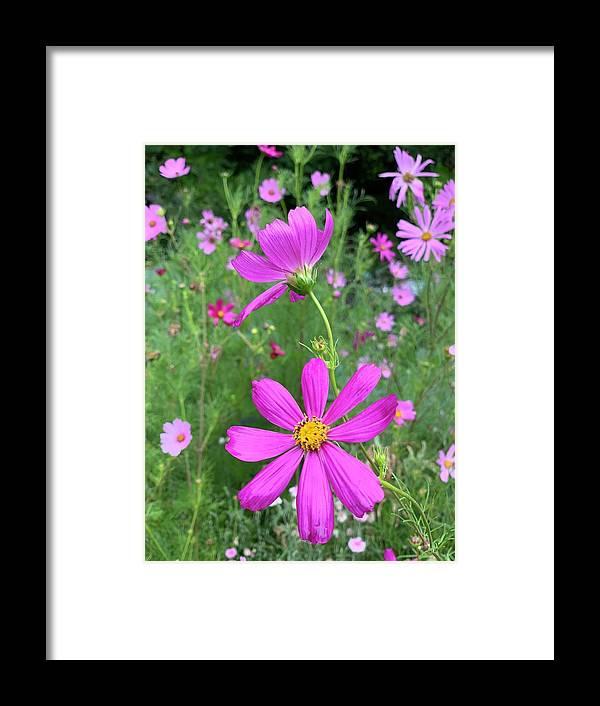 Pink Cosmos Framed Print By Sharon Wunder Framed Prints Frame Cosmos