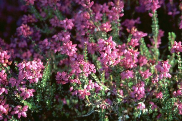 Gather Heather To Manifest Wishes Place Heather Under Your Pillow To Stimulate Dreams This Plant Is Useful When Con Heather Flower Flower Remedy Bach Flowers