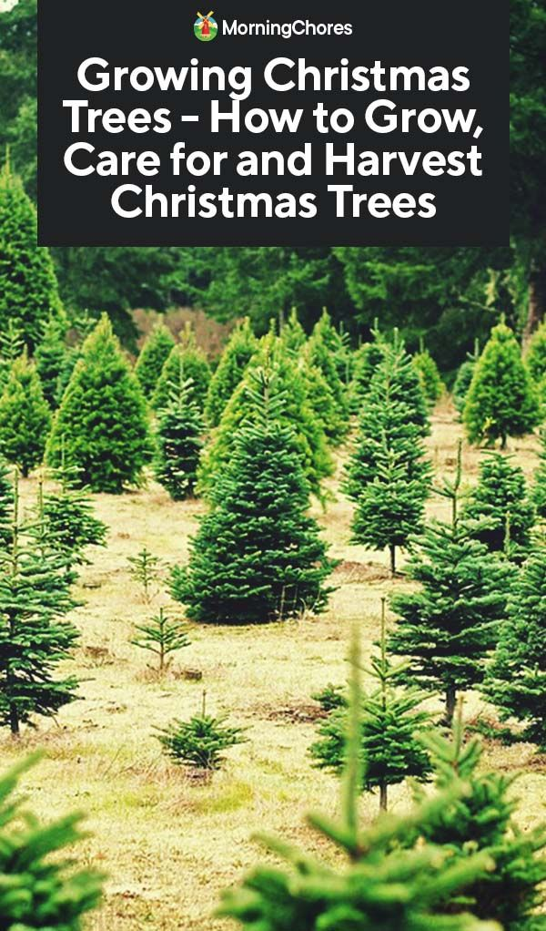 Growing Christmas Trees - How to Grow, Care for and Harvest Christmas Trees | Growing tree ...