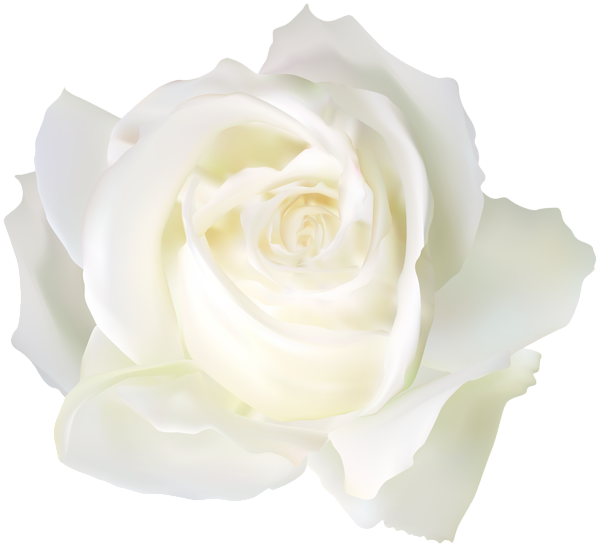 White Rose PNG Clip Art Image   White rose png, White roses, Gallery