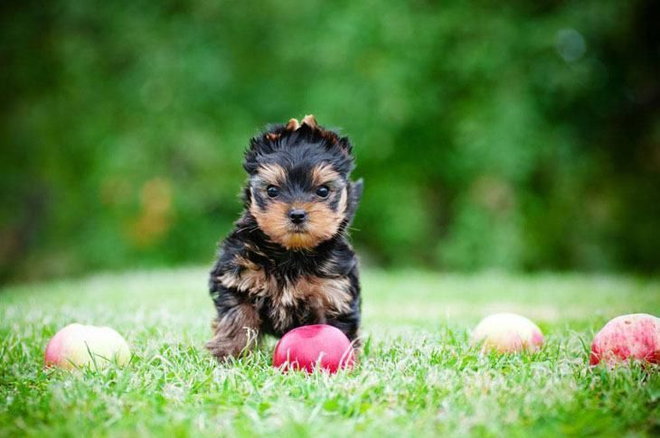 These Yorkshire Terrier Puppy Pictures Are Doggone Cute Animales