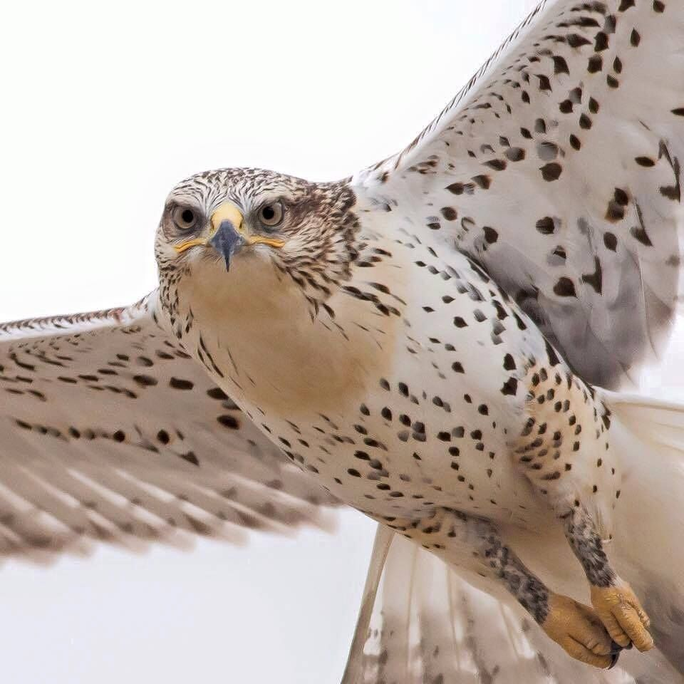 Ferruginous Hawk Shows Its Characteristic Feathers All The Way Down To Its Feet Thanks To Shon Reed For The Photo From Northern Birds Of Prey Pet Birds Birds