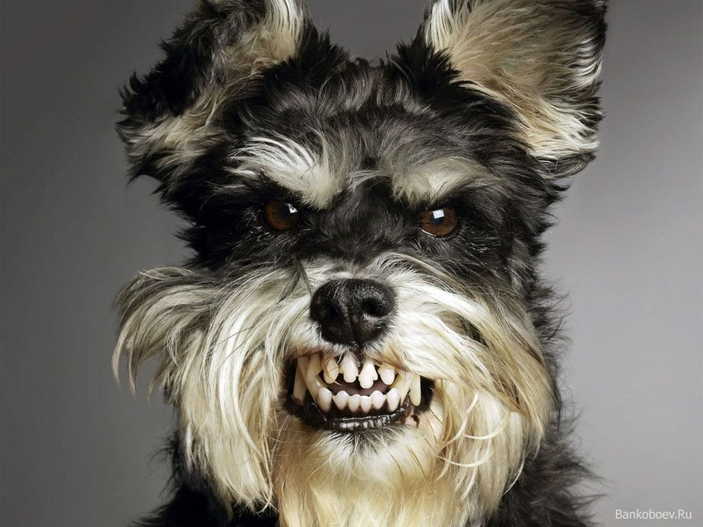 Schnauzer Posing His Evil For Halloween Lol Funny Dog Pictures Angry Animals Angry Dog